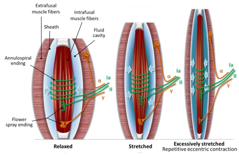 Courbatures (DOMS) : Microdommages neuraux plutôt que musculaire ?